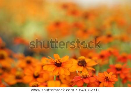 美しい オレンジ 花 ぼやけた 植物 クローズアップ ストックフォト © dsmsoft