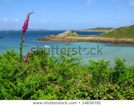 Wild foxglove and fern, St. Agnes and Gugh, Isles of Scilly. Stock photo © latent