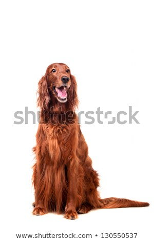 Stock photo: Irish setter dog (red setter)