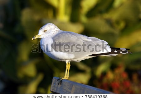 ring billed seagull stock photo © brm1949