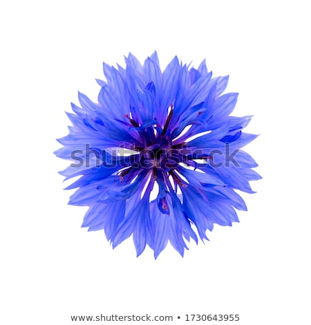 blue corn flowers stock photo © ivonnewierink