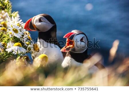 kő · Izland · pihen · fölött · tenger · madár - stock fotó © tomasz_parys