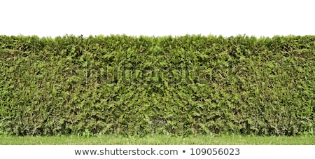 Fragment of a rural fence hedge  from evergreen plants  Stock photo © vavlt