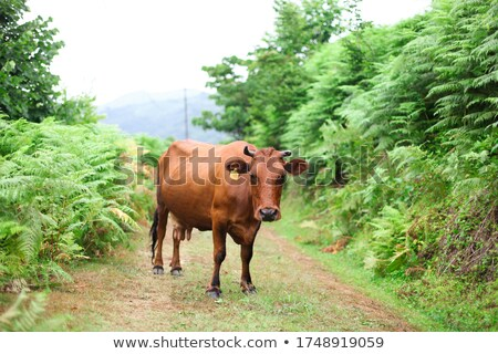 Red Tag Cows Stock photo © rghenry