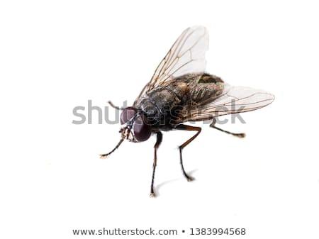 ordinary fly Stock photo © perysty