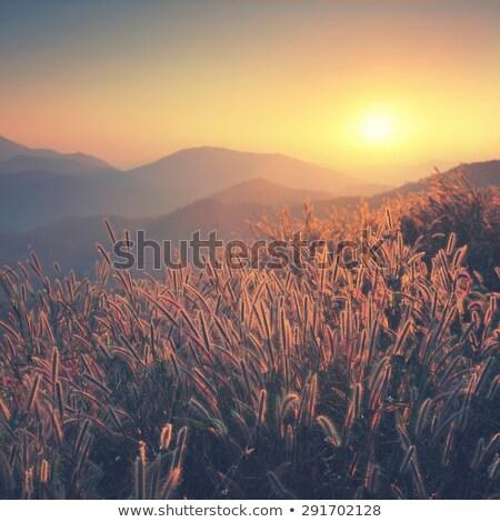 Dry red grass Stock photo © przemekklos