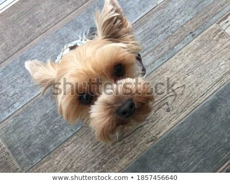 Küçücük minyatür çay fincanı köpek yavrusu beyaz gözler Stok fotoğraf © tobkatrina