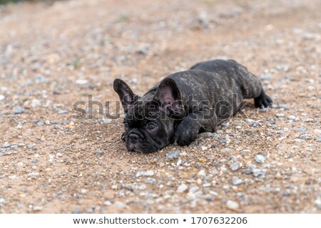 brindle french bulldog  Stock photo © OleksandrO