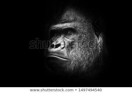 Figyelem gorilla illusztráció vicces állat afrikai Stock fotó © adrenalina