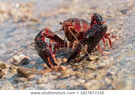 Crayfish 01 Stock photo © Undy