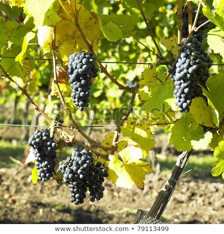 blue grapes in vineyard, Southern Moravia, Czech Republic Stock photo © phbcz
