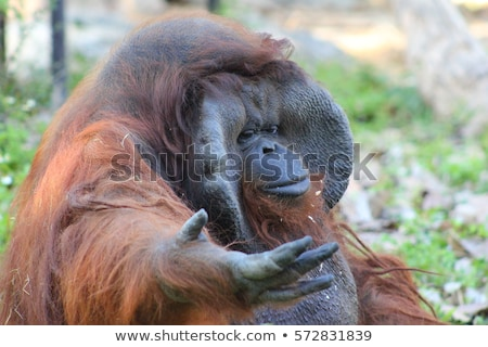 The adult male of the Orangutan in the wild nature. Island Borne Stock photo © Mariusz_Prusaczyk