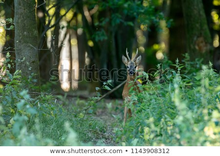 Giovani cervo natura Holland Amsterdam verde Foto d'archivio © compuinfoto
