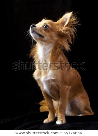Nice red dog portrait in black background stock photo © vauvau