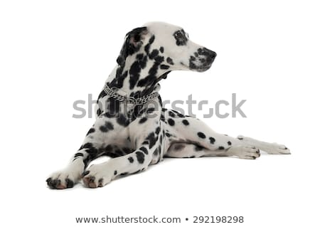 cute dalmatians relaxing in white background photo studio Stock photo © vauvau