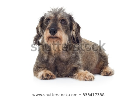 Stock photo: wired hair dachshund posing in a photo studio