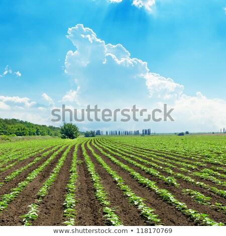 красивой · подсолнухи · газона · Blue · Sky · весны · трава - Сток-фото © rufous