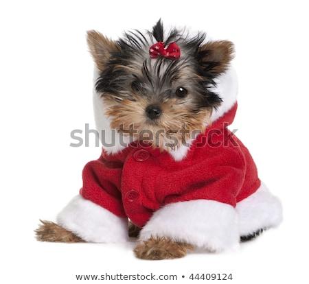 Christmas Themed Yorkshire Terriers on White Stock photo © tobkatrina