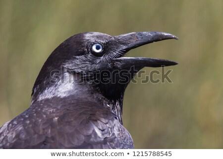 Australian raven (Corvus coronoides) Stock photo © dirkr