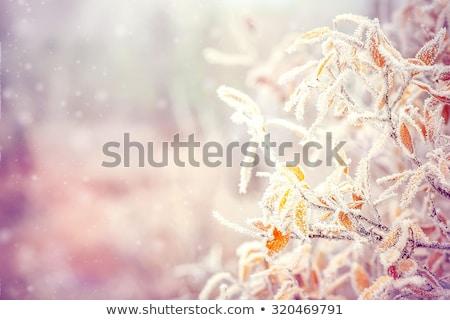 Yaprakları don buz sonbahar kış sezonu Stok fotoğraf © blasbike