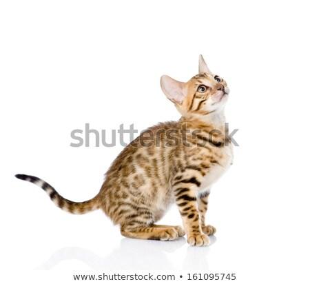 mentir · gato · aislado · blanco · naturaleza · fondo - foto stock © feedough