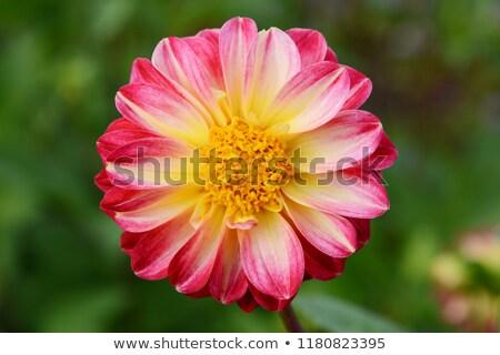 георгин желтый центр лепестков глубокий розовый Сток-фото © sarahdoow