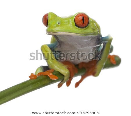 tree frog looking at camera Stock photo © taviphoto