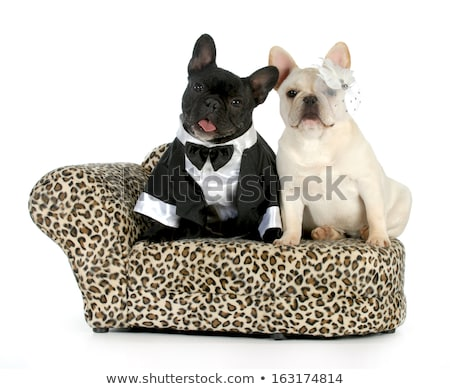 couple of cute french bulldogs celebrating halloween dressed as stock photo © feedough