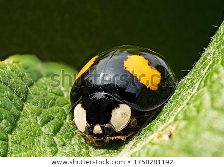 Negro mariquita pequeño color caminando rama Foto stock © tito