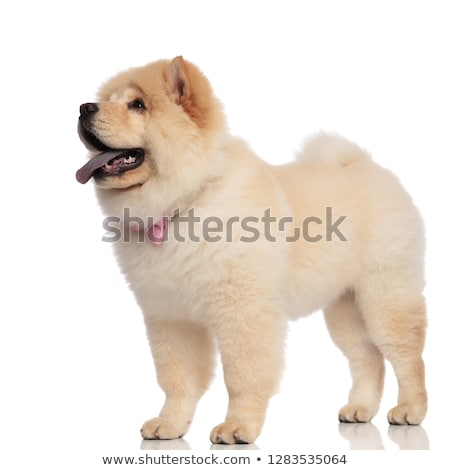 side view of gentleman chow chow looking up while standing Stock photo © feedough