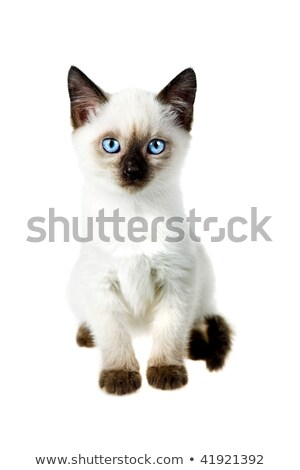 oriental shorthair and siamese kitten on white background stock photo © catchyimages