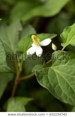 Fishwort's cute white flower blooming Houttuynia cordata Stock photo © galitskaya