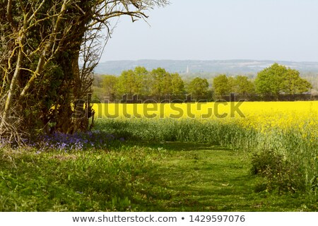 Bluebells growing at the edge of a field of oilseed rape Stock photo © sarahdoow