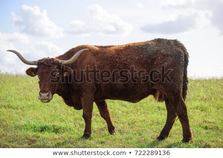 Salers cows cattle in the nature Stock photo © tilo