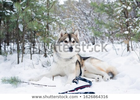 Cute fluffy purebred siberian husky dog lying on snow among trees in the forest Stock photo © pressmaster