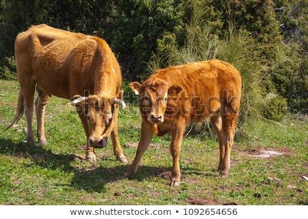 barna · tehén · fa · baba · fű · mező - stock fotó © deyangeorgiev