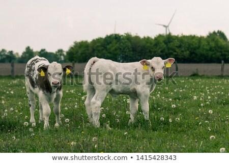 jovem · feminino · vaca · marrom · verão - foto stock © sherjaca