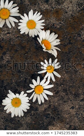 Yellow Daisies on Gray Stones Isolated on White stock photo © Frankljr