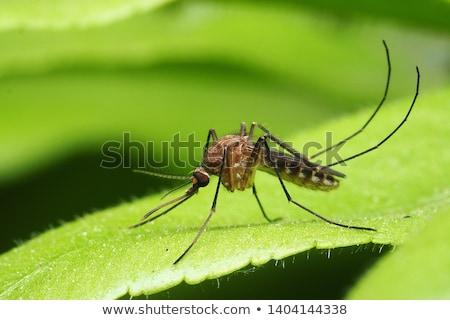 Szúnyog vektor körvonal izolált fehér absztrakt Stock fotó © pavelmidi
