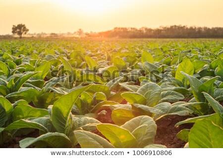 Dohány mező ültetvény észak Thaiföld zöld Stock fotó © smithore