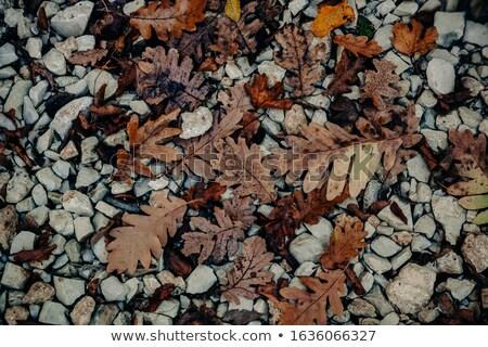 дуб листьев рок лице зима лес Сток-фото © taviphoto