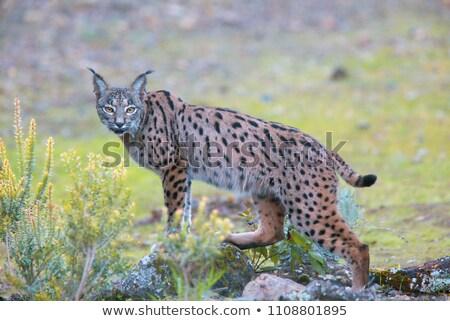 Iberian lynx Stock photo © jarp17