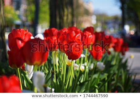 red tulips blooming in the sun stock photo © Fotaw