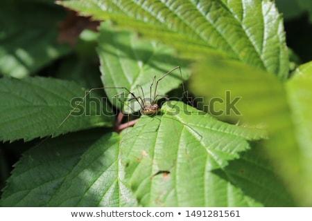 pók · természet · kert · zöld - stock fotó © brm1949