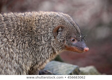 Mongoose, Slender - Wild Scavenger Mammals from wild and free Africa Stock photo © Livingwild