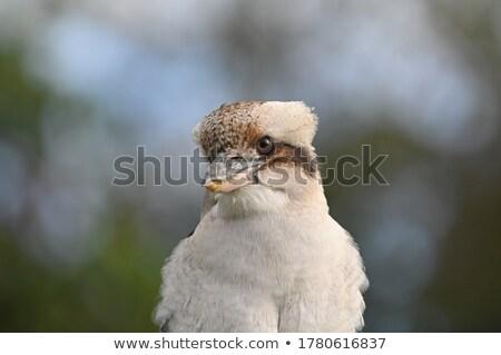 Laughing Kookaburra facing front closeup Stock photo © sdenness
