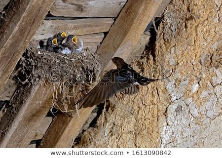 Barn Swallows (Hirundo rustica) Stock photo © dirkr