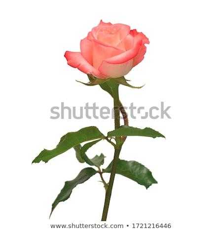 バラ 美しい 値下がり 露 緑 ストックフォト © FidaOlga
