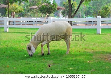овец фермы еды сельскохозяйственных животных белый Сток-фото © stevanovicigor
