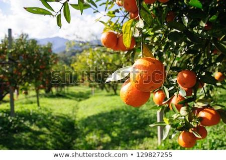 Mediterranean orange grove trees Stock photo © Anterovium